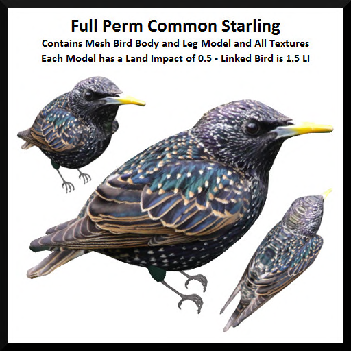 Full Perm Common Starling Ad