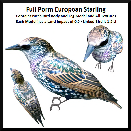 Full Perm European Starling Ad
