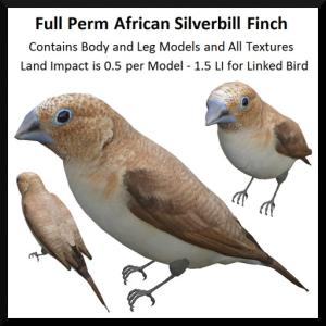 Full Perm African Silverbill Finch Ad